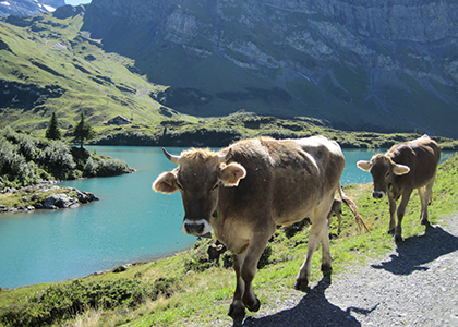 cows-above-Trubsee